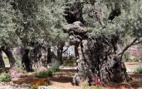 Il Getsemani, l'Orto degli Ulivi: ricordi di viaggio