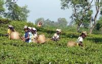 Viaggio culinario in India: il tè nero dell'Assam