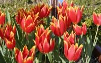 Campi di fiori in Olanda: lo spettacolo è servito